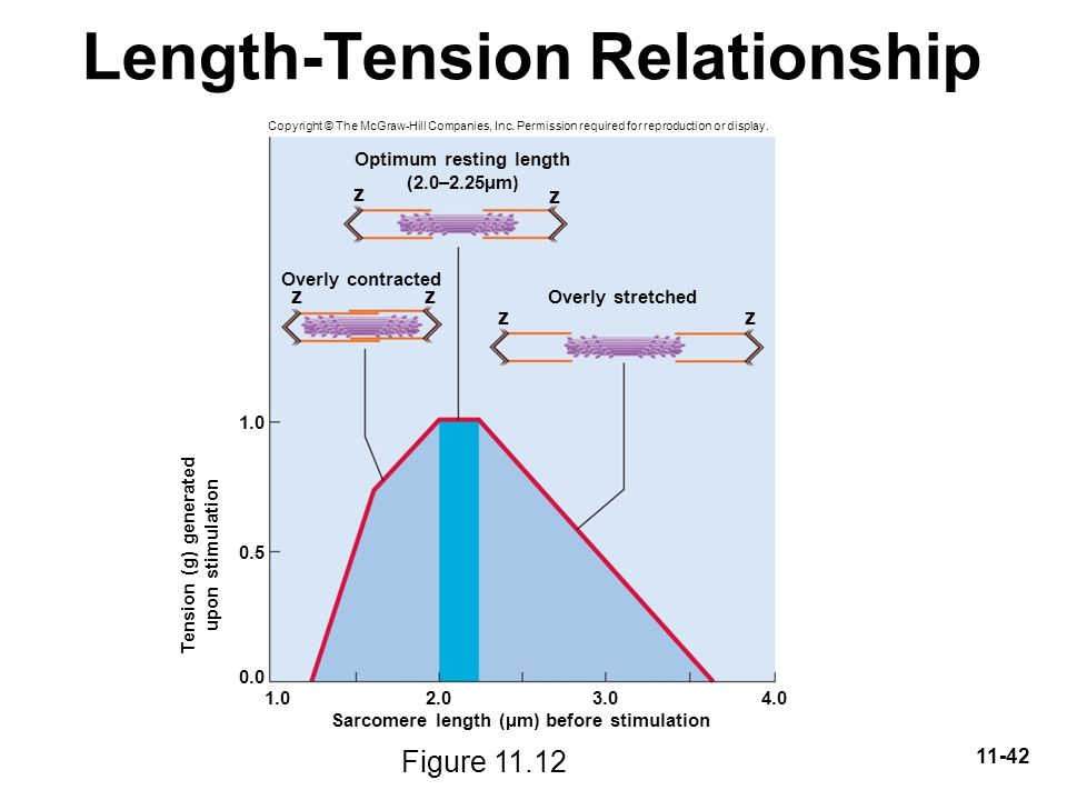 length and tension relationship Find out why the length of a sarcomere (in diastole) affects the amount of force that it can generate (in systole), and how that would look on a graph rishi is a pediatric infectious disease physician and works at khan academy.