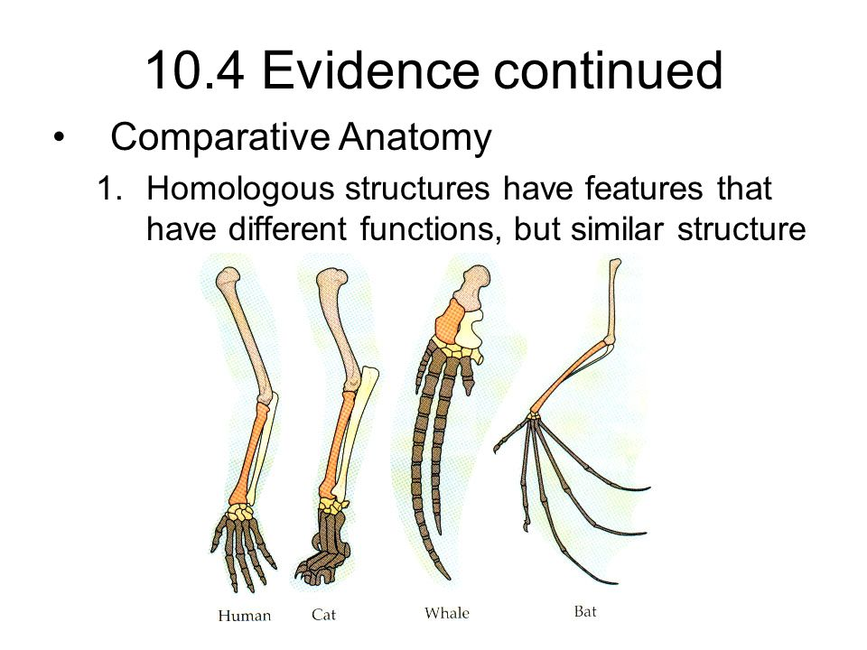 Attractive Comparative Anatomy Evidence For Evolution Model ...