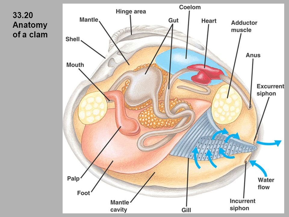 Attractive Clam Anatomy And Functions Pictures - Image of internal ...