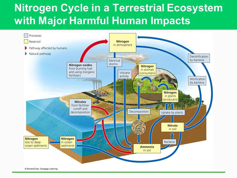 human impacts on the carbon nitrogen Get an answer for 'discuss how humans impact each of the following cycles, providing specific examples of eachthe nitrogen cycle what are the major human impacts on the carbon, phosphorus, and nitrogen cycles.