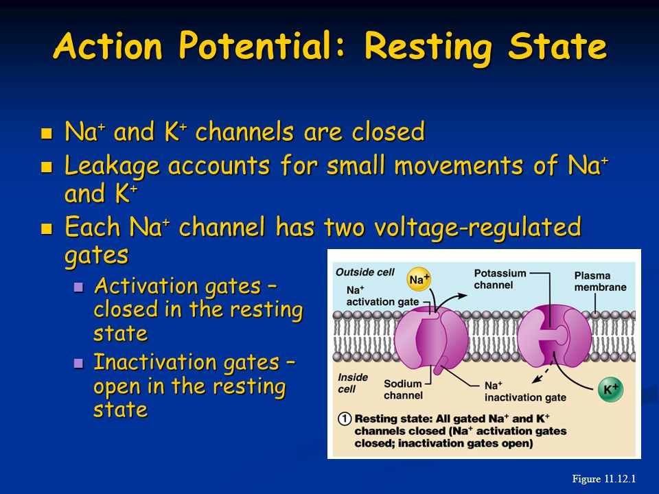Action Potential: Resting State
