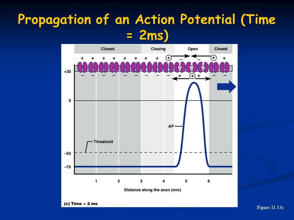 Propagation of an Action Potential (Time = 2ms)