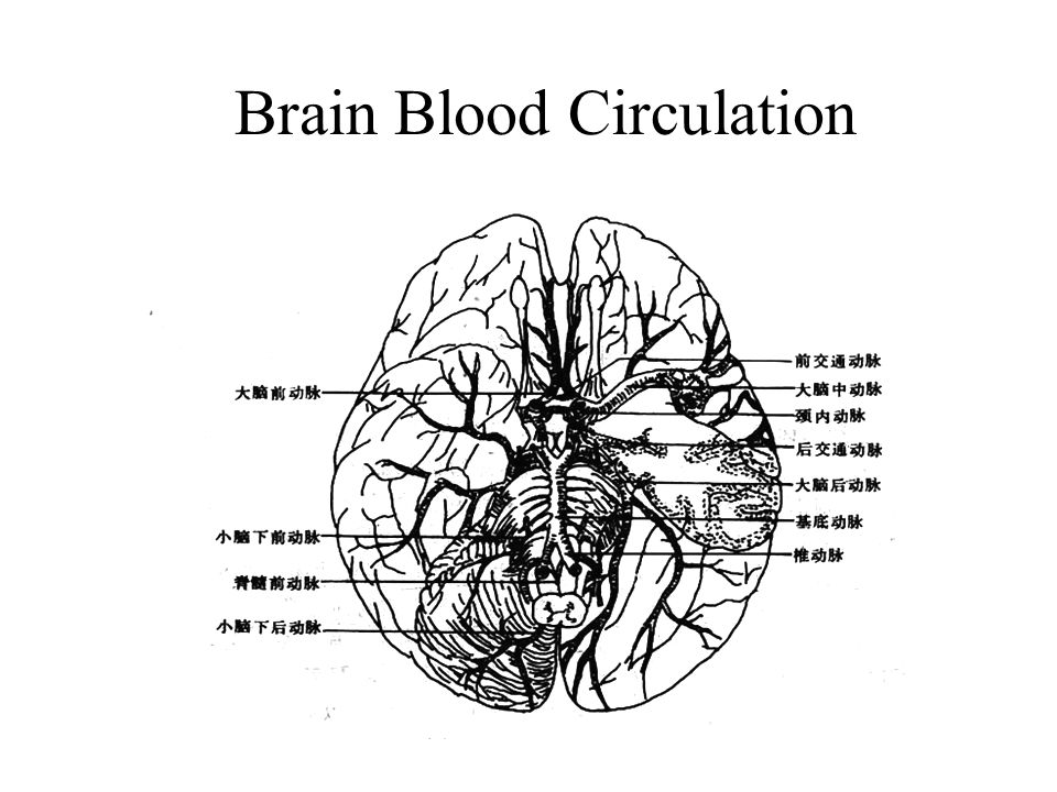 Brain Blood Circulation