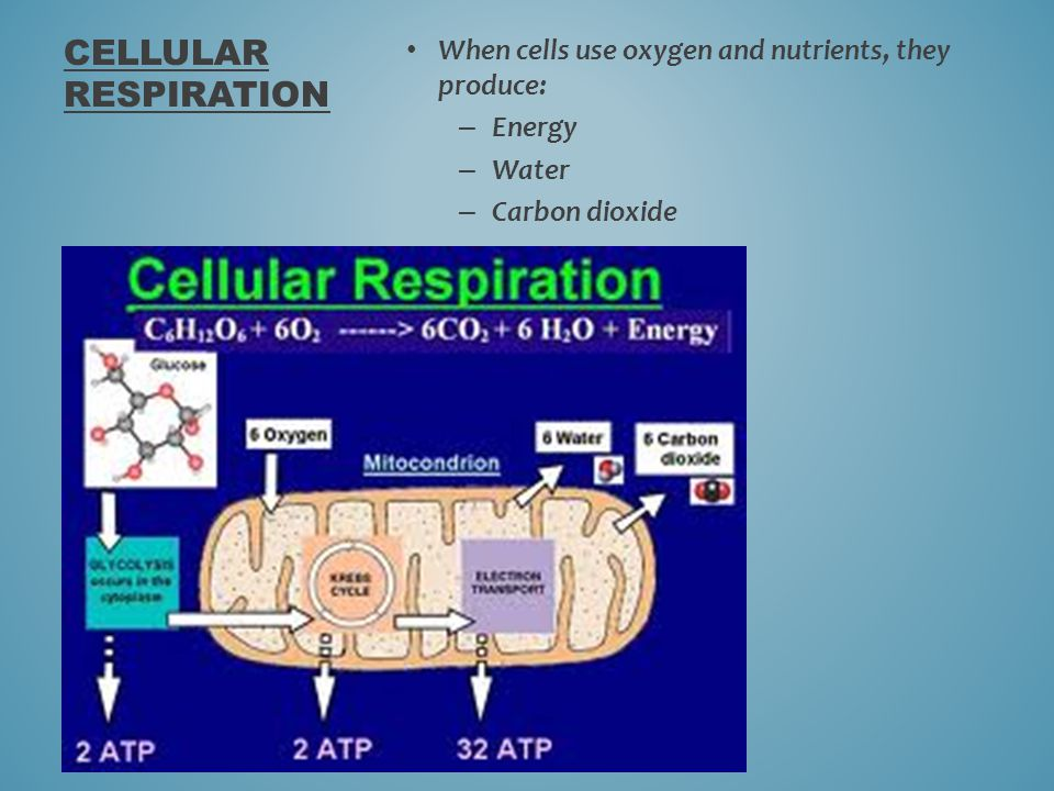 Cellular Respiration When cells use oxygen and nutrients, they produce: Energy Water Carbon dioxide