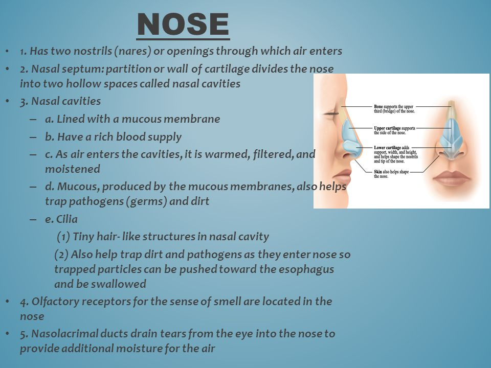 NOSE 1. Has two nostrils (nares) or openings through which air enters.