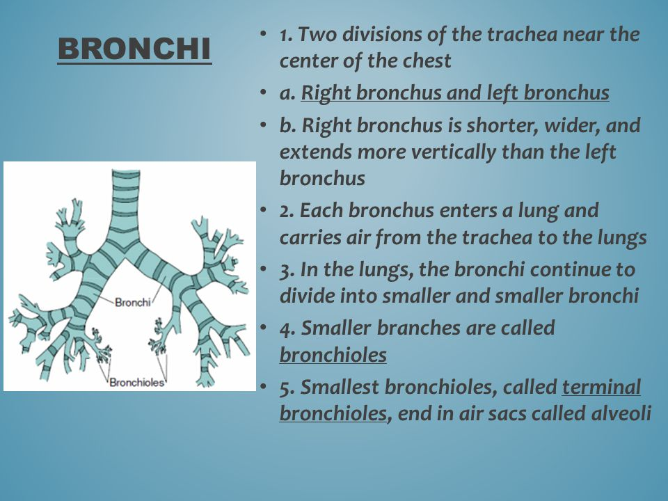 Bronchi 1. Two divisions of the trachea near the center of the chest