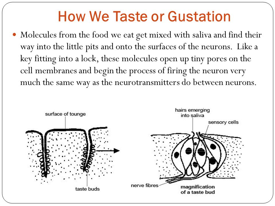 How We Taste or Gustation