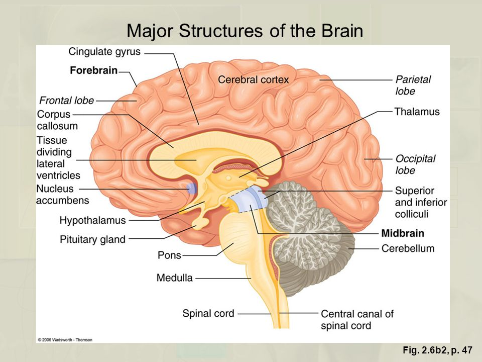 Major Structures of the Brain