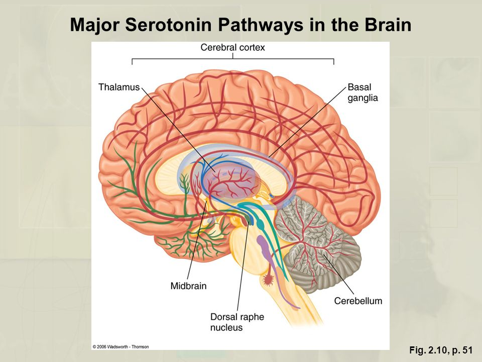 Major Serotonin Pathways in the Brain