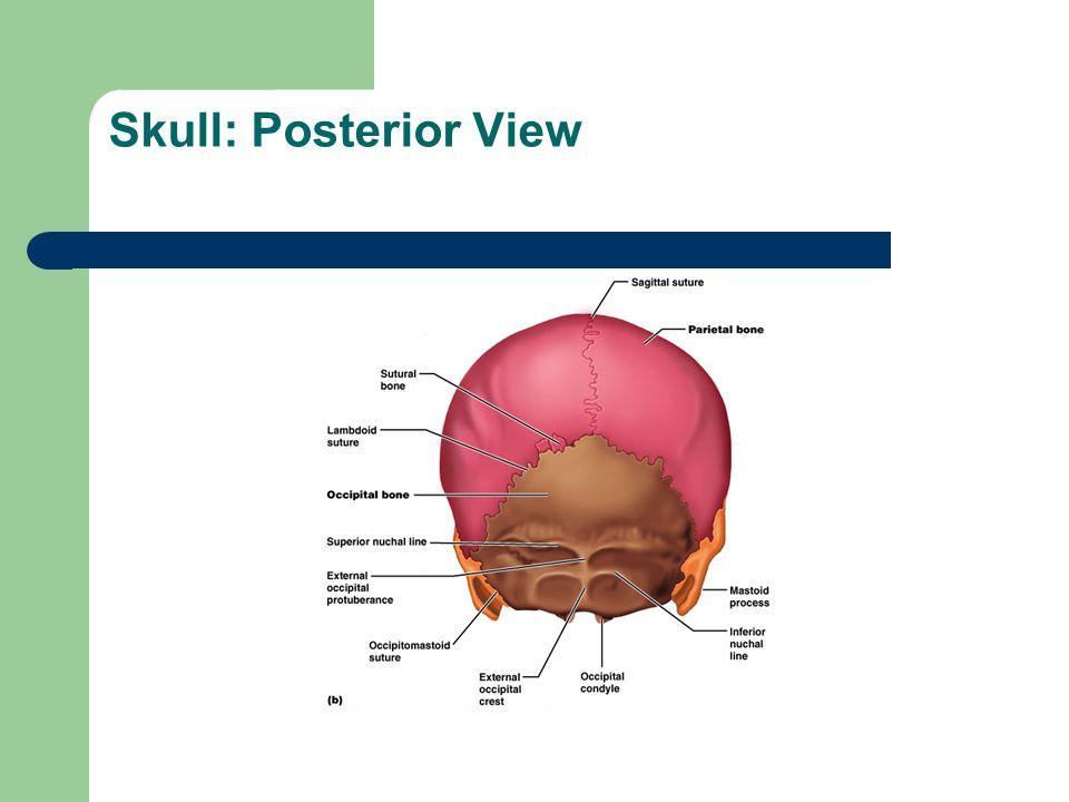 the skeletal system ppt download