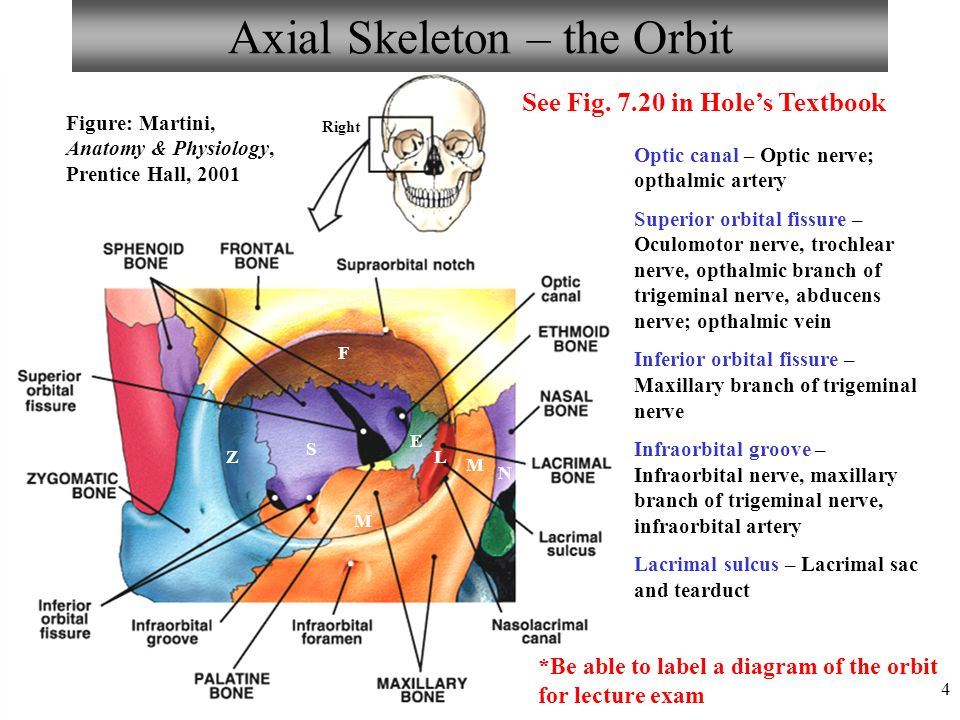 chapter 7 the axial and appendicular skeleton lecture ppt video online download