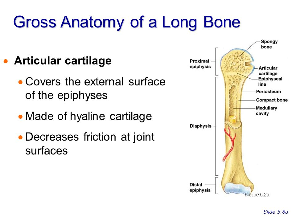 Gross anatomy of the typical long bone