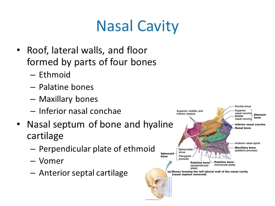 The bones of the skeleton ppt video online download for Floor of nasal cavity