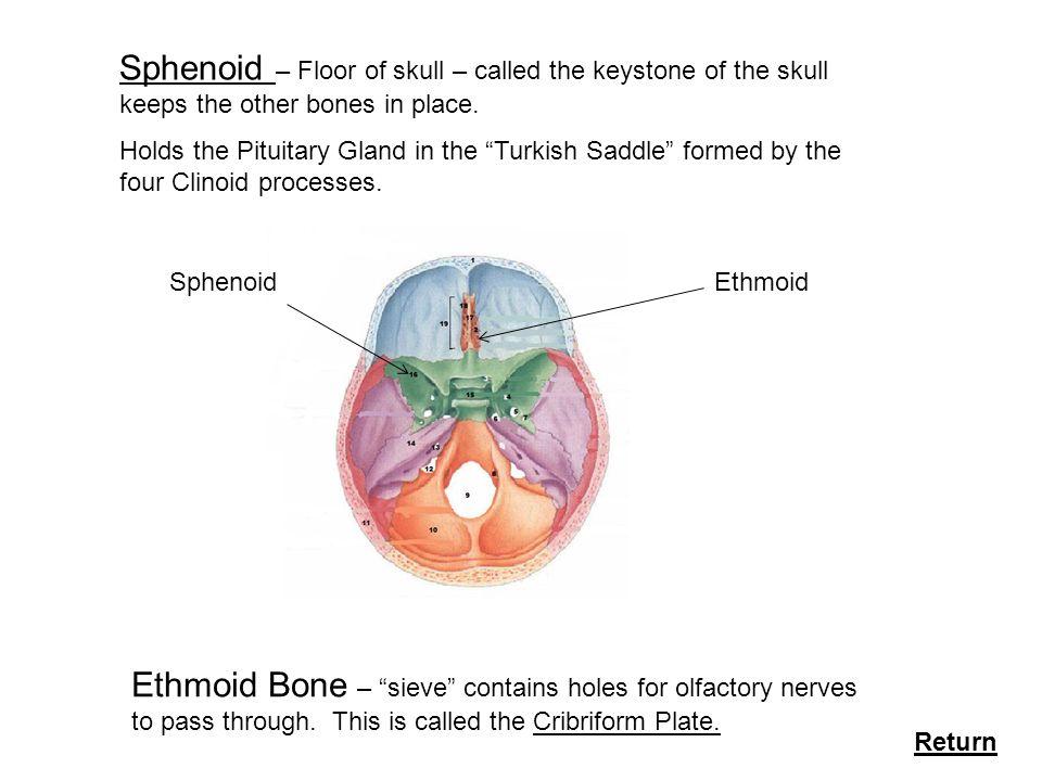 skeletal system bone formation facial bones types of bones, Human Body