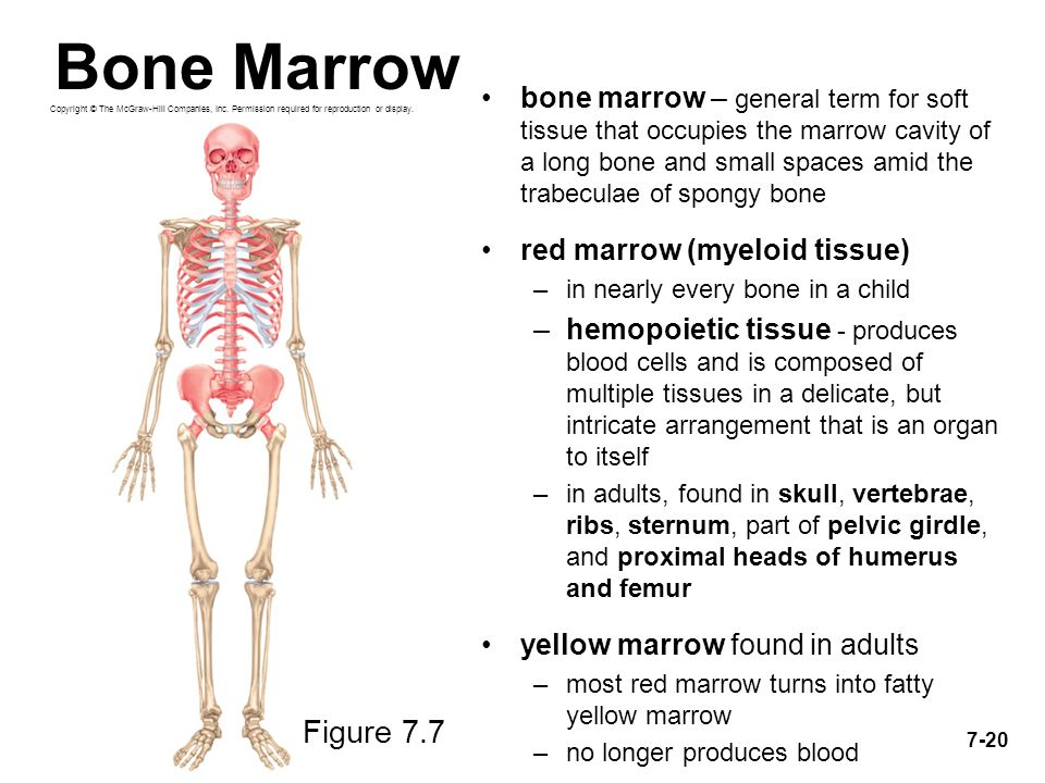 Großartig Anatomy And Physiology Of Bone Marrow Fotos - Menschliche ...
