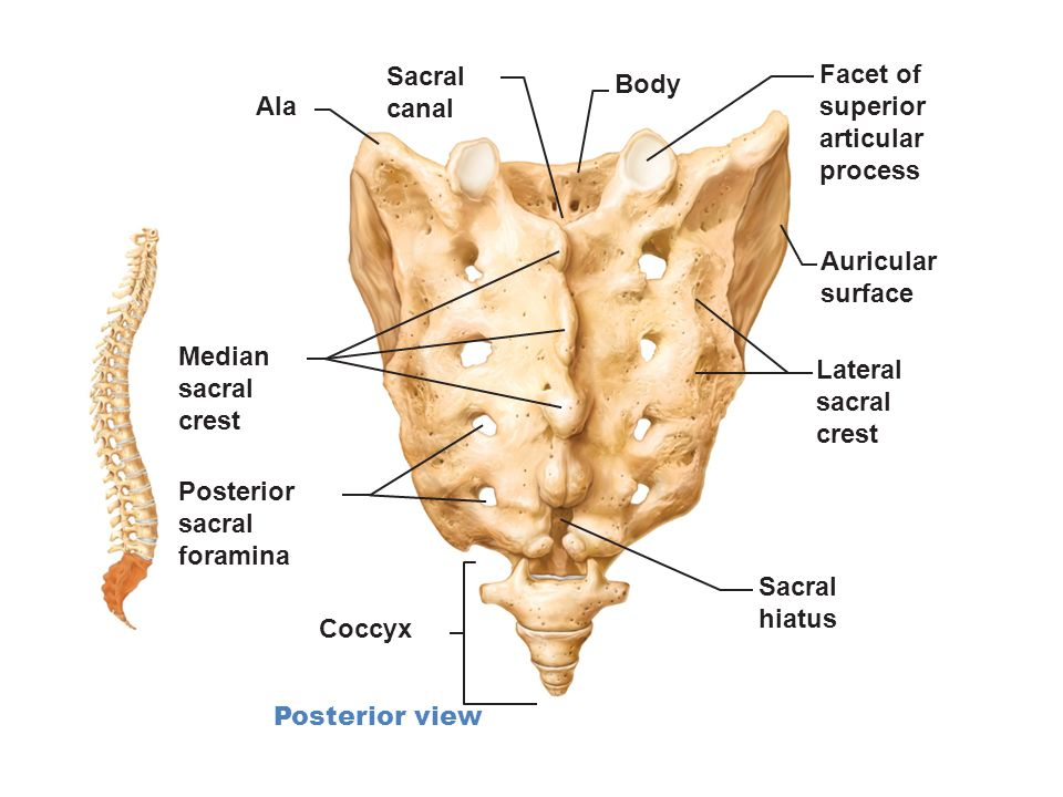 Articular cartilage Compact bone - 70.8KB