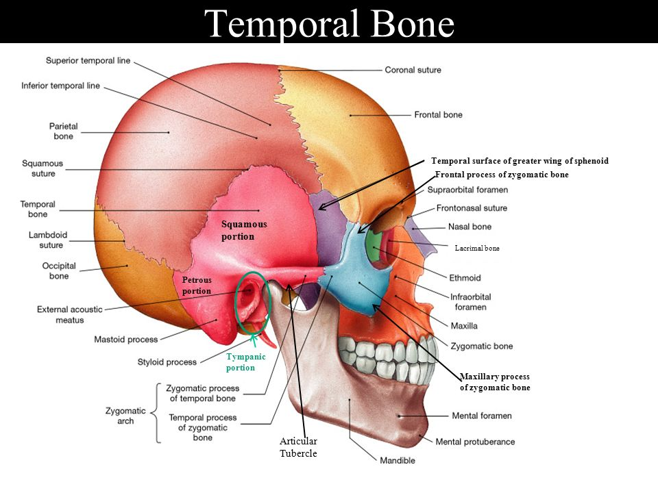Bone anatomy ppt