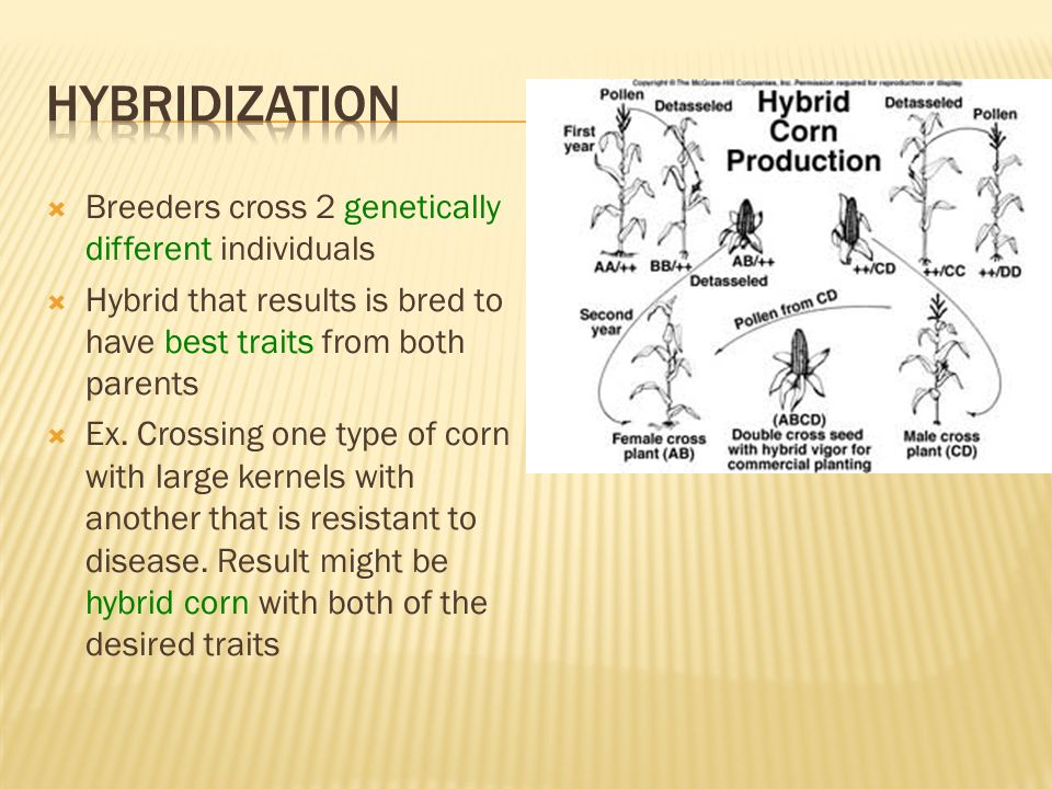 Hybridization Breeders cross 2 genetically different individuals