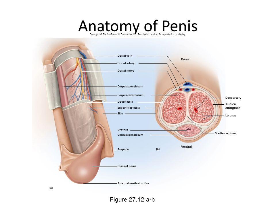 Penis pain arteries veins