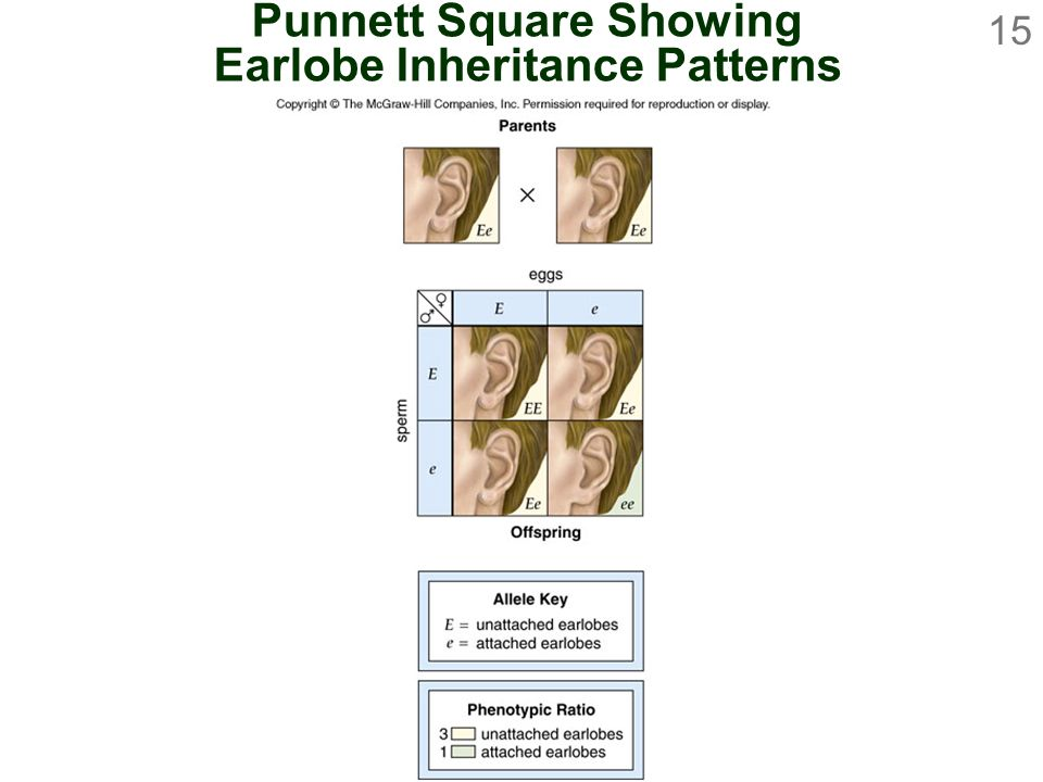 Punnett Square Showing Earlobe Inheritance Patterns