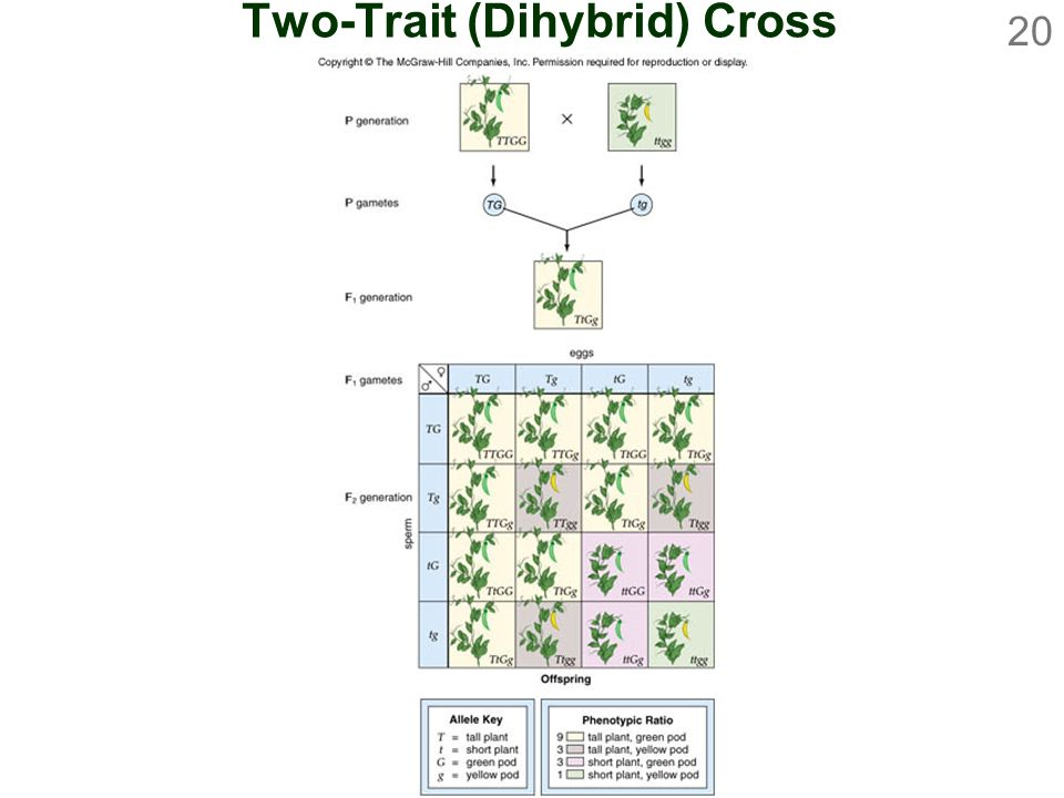 Two-Trait (Dihybrid) Cross