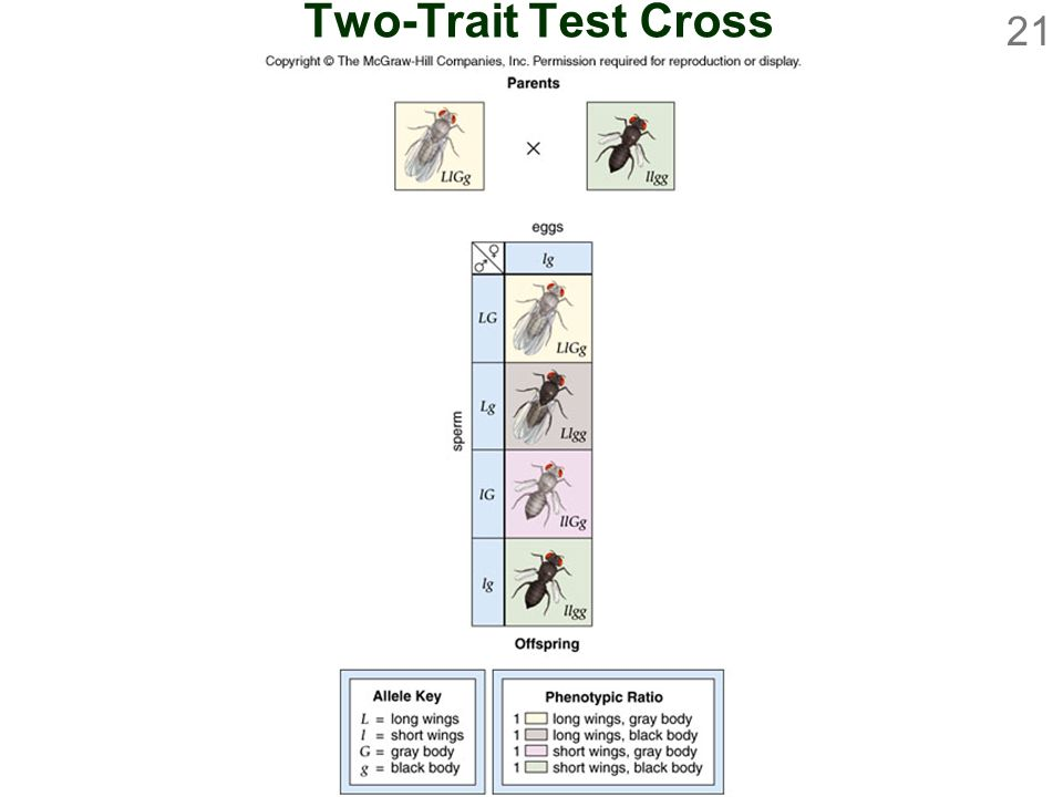 Two-Trait Test Cross
