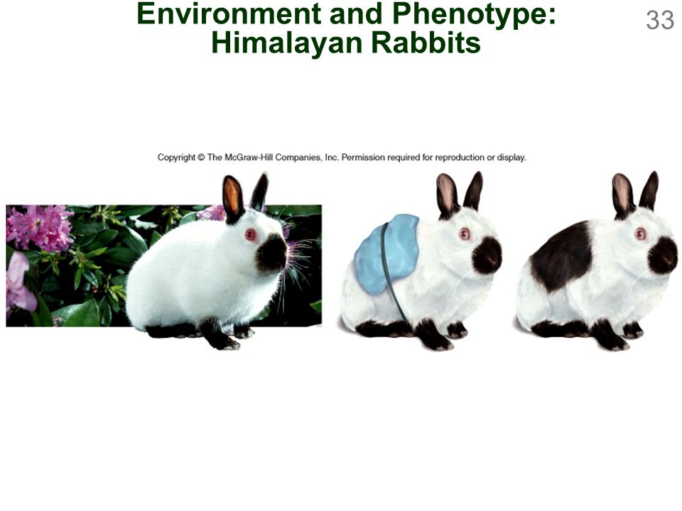 Environment and Phenotype: Himalayan Rabbits