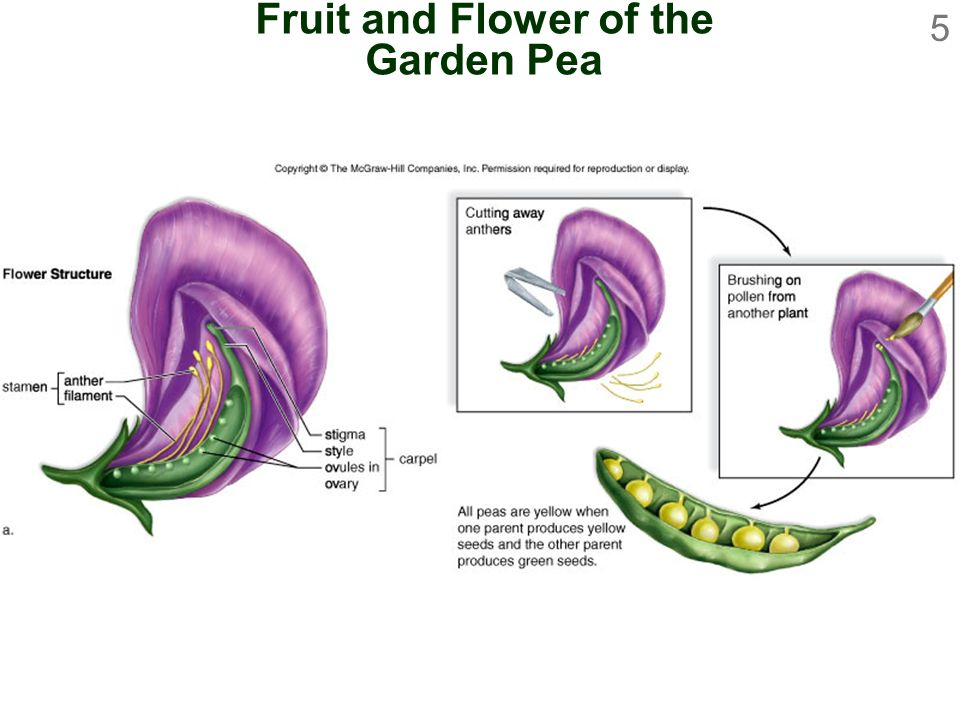 Fruit and Flower of the Garden Pea