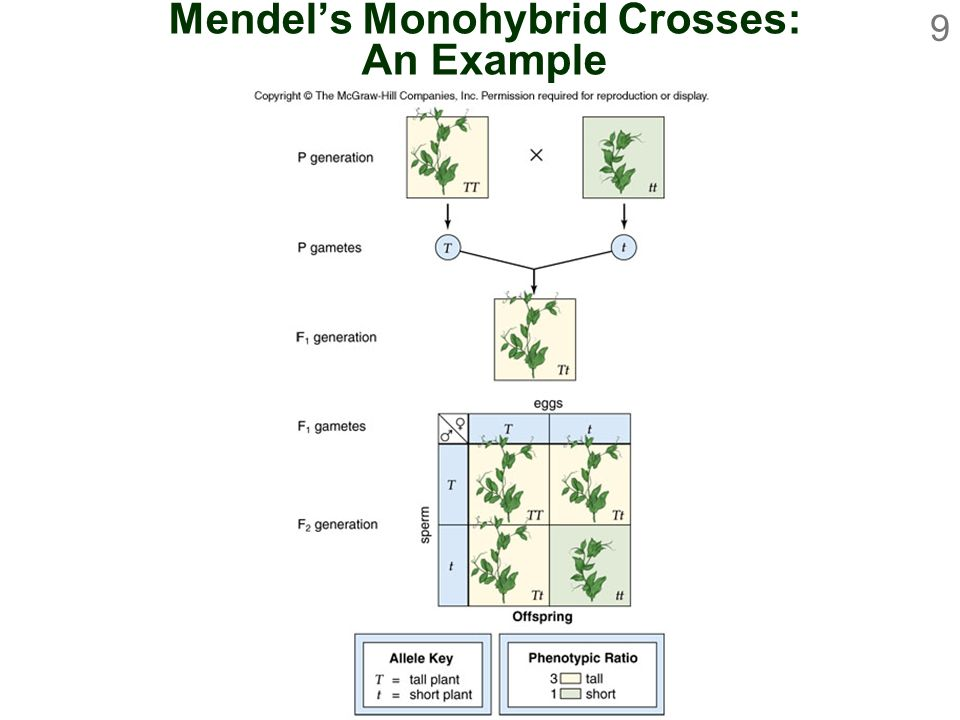 Mendel's Monohybrid Crosses: An Example