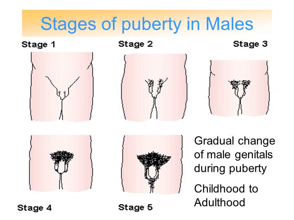 stages of penis during puberty