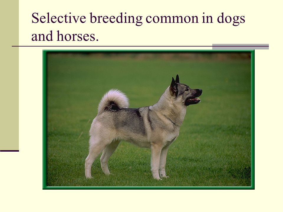 Selective breeding common in dogs and horses.