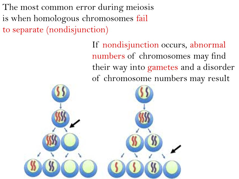 The most common error during meiosis is when homologous chromosomes fail to separate (nondisjunction)