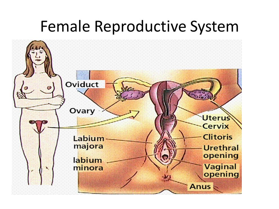 Human body: female reproductive system -