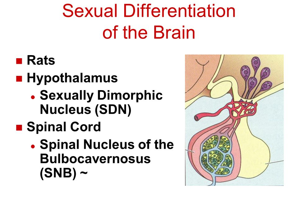 Sexuality And The Brain