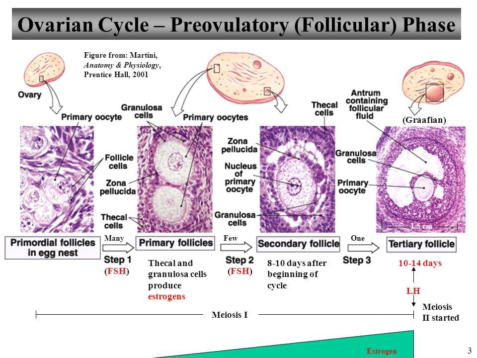 ovarian-cycle-follicular-phase
