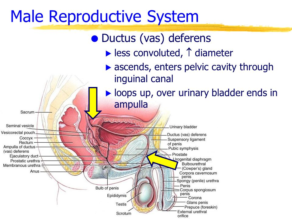the reproductive system Reproductive system the organs involved in producing offspring in women, this system includes the ovaries, the fallopian tubes, the uterus, the cervix, and the vagina in men, it includes the prostate, the testes, and the penis.