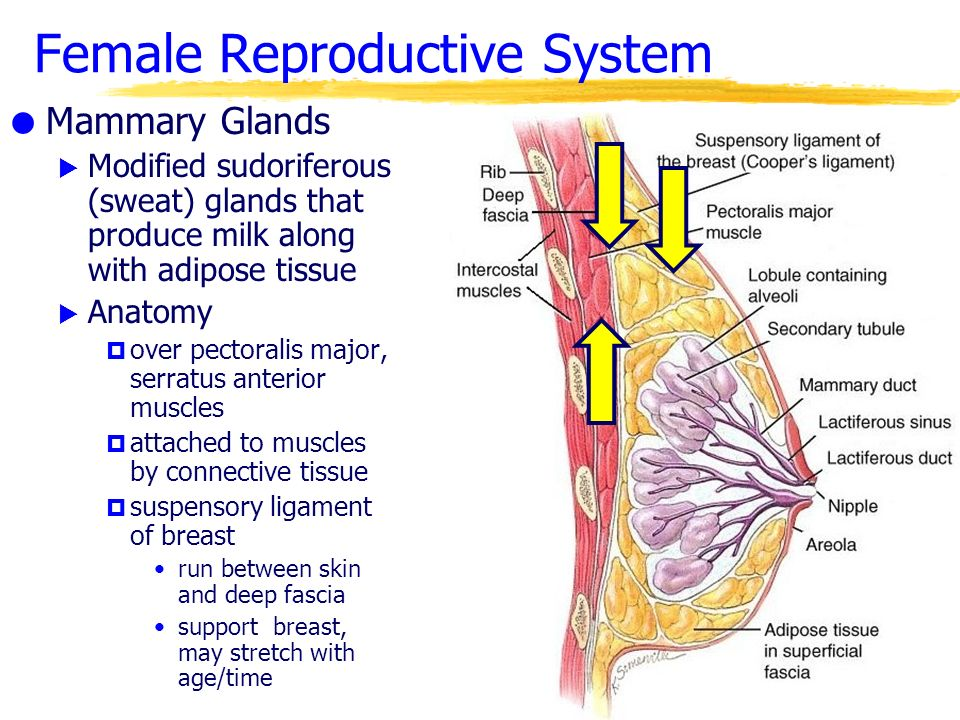 the reproductive system - ppt download, Muscles