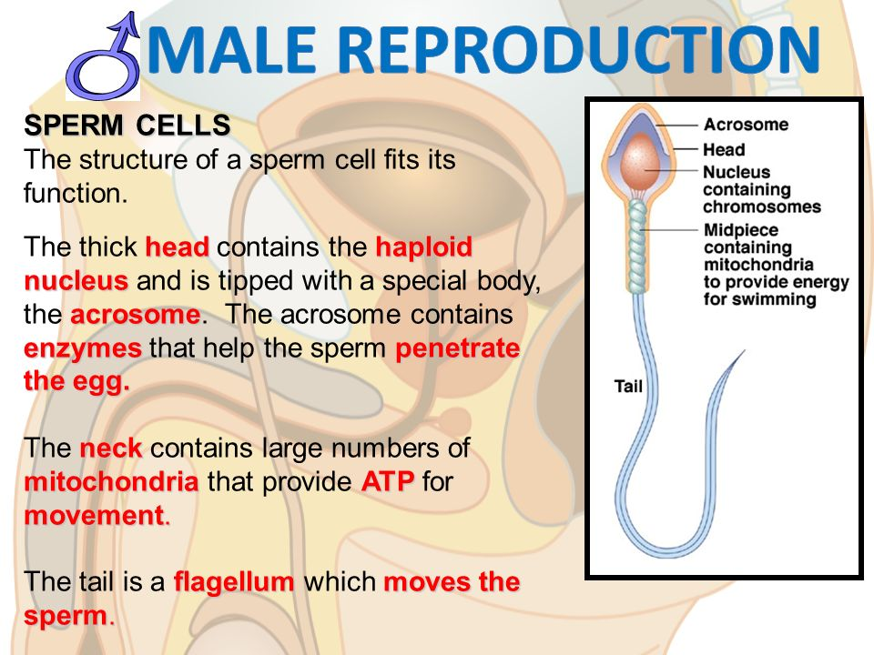 Stunning pussy Sperm cell haploid would never use