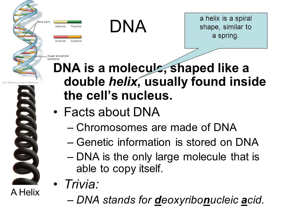DNA a helix is a spiral. shape, similar to. a spring. DNA is a molecule, shaped like a double helix, usually found inside the cell's nucleus.
