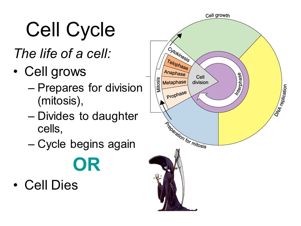 Cell Cycle OR The life of a cell: Cell grows Cell Dies