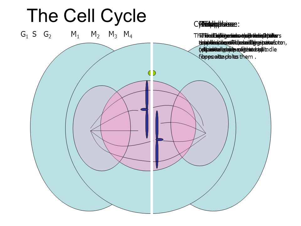 The Cell Cycle Cytokinesis: Metaphase: Prophase: Interphase: Anaphase: