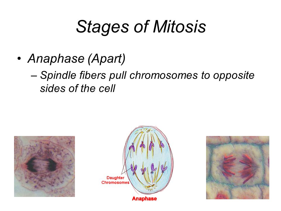 Stages of Mitosis Anaphase (Apart)