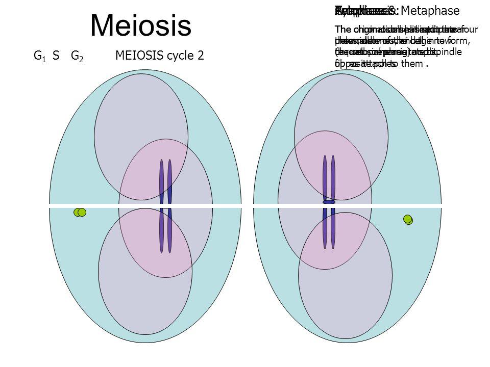 Meiosis Cytokinesis: Telophase: Anaphase: Prophase & Metaphase G1 S G2