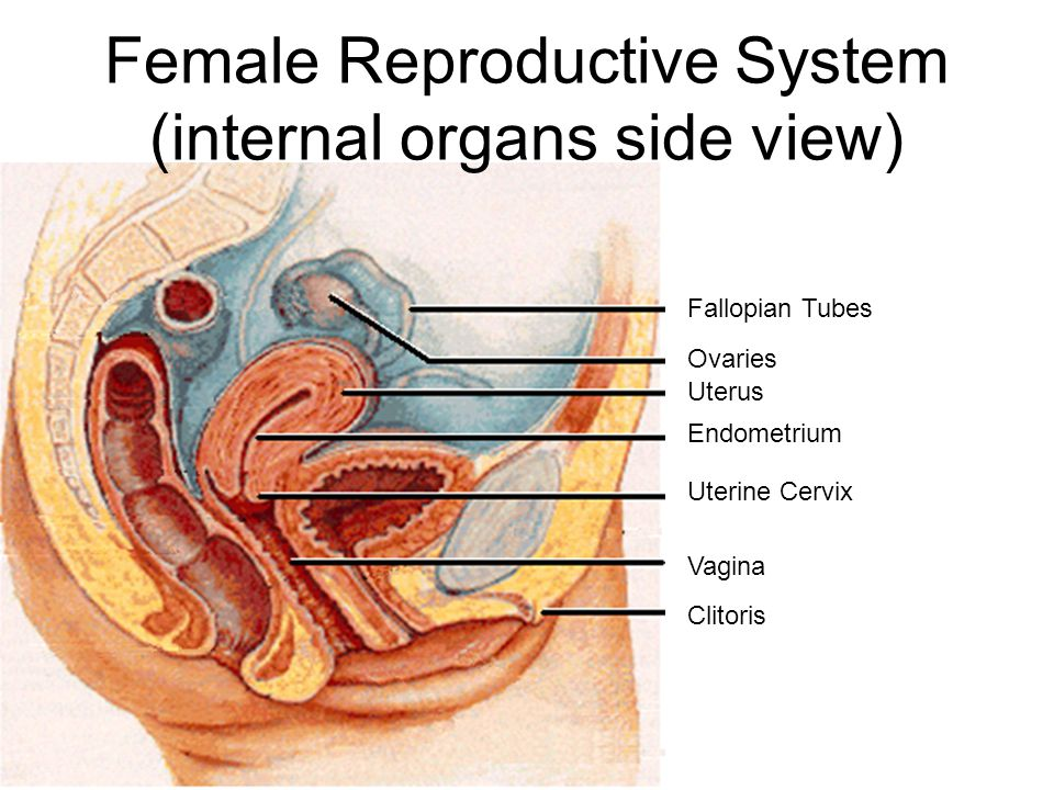 Female Reproductive System (internal organs side view)