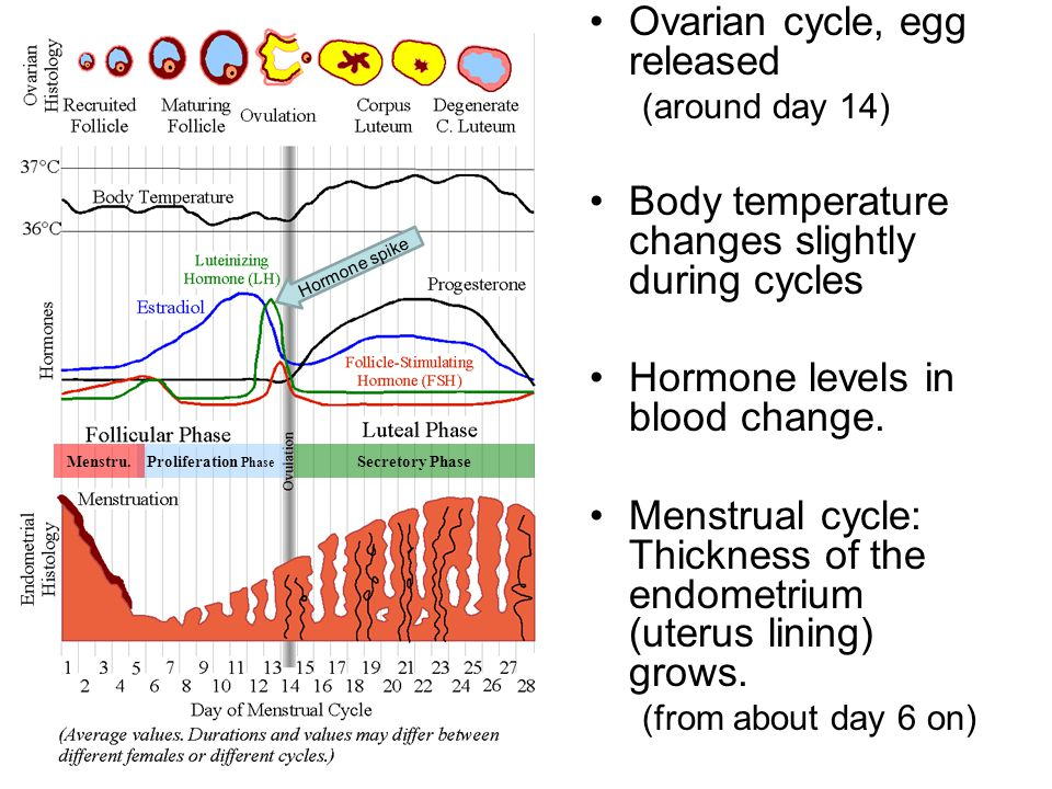Ovarian cycle, egg released