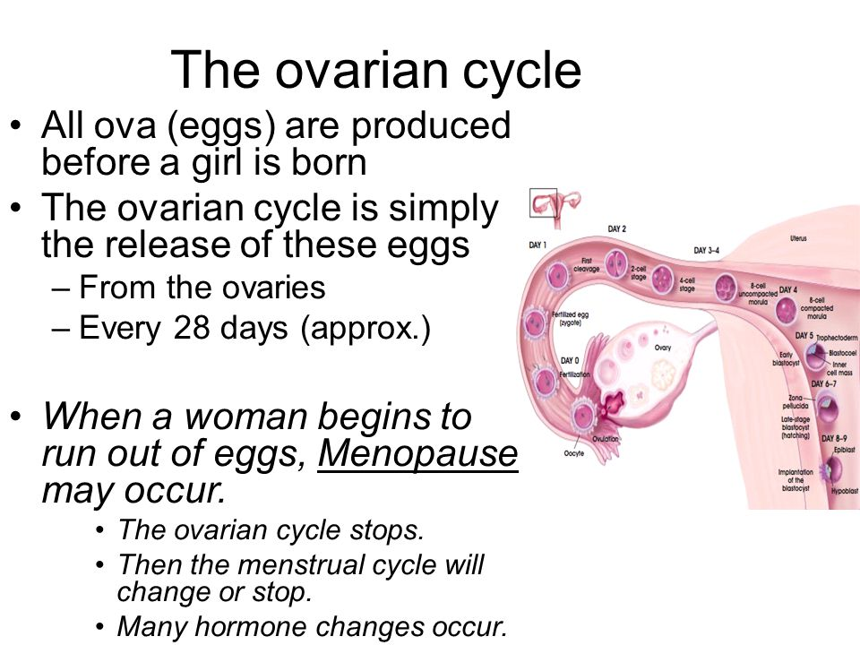 The ovarian cycle All ova (eggs) are produced before a girl is born