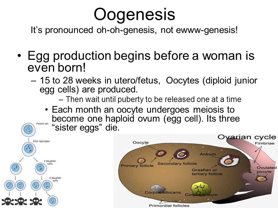 Oogenesis It's pronounced oh-oh-genesis, not ewww-genesis!