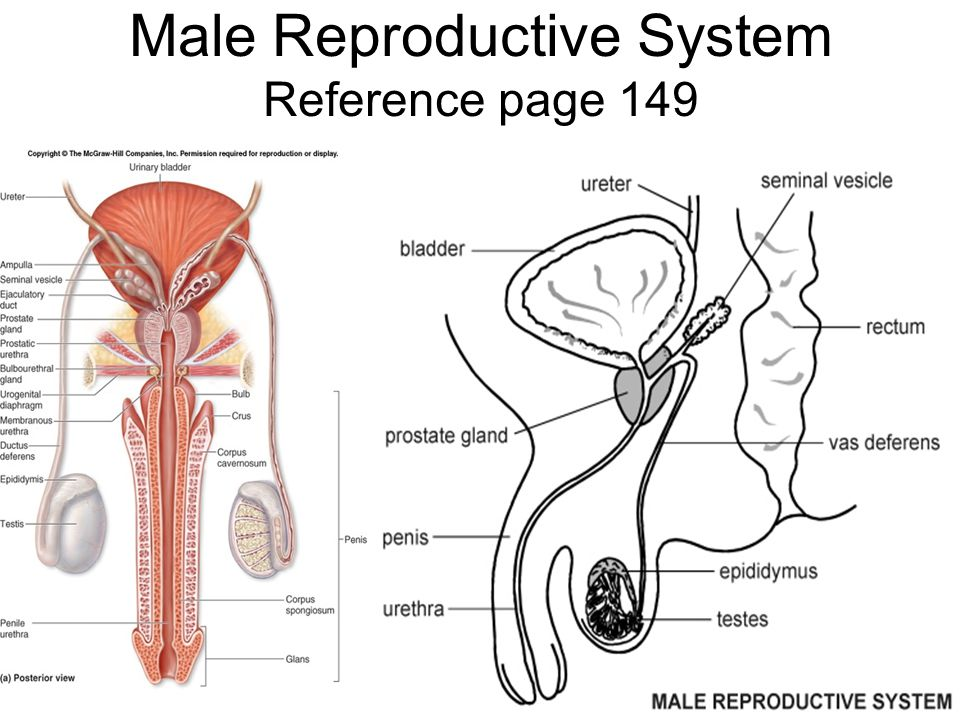 Male Reproductive System Reference page 149