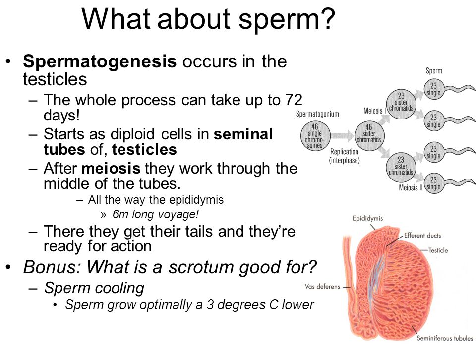 What about sperm Spermatogenesis occurs in the testicles
