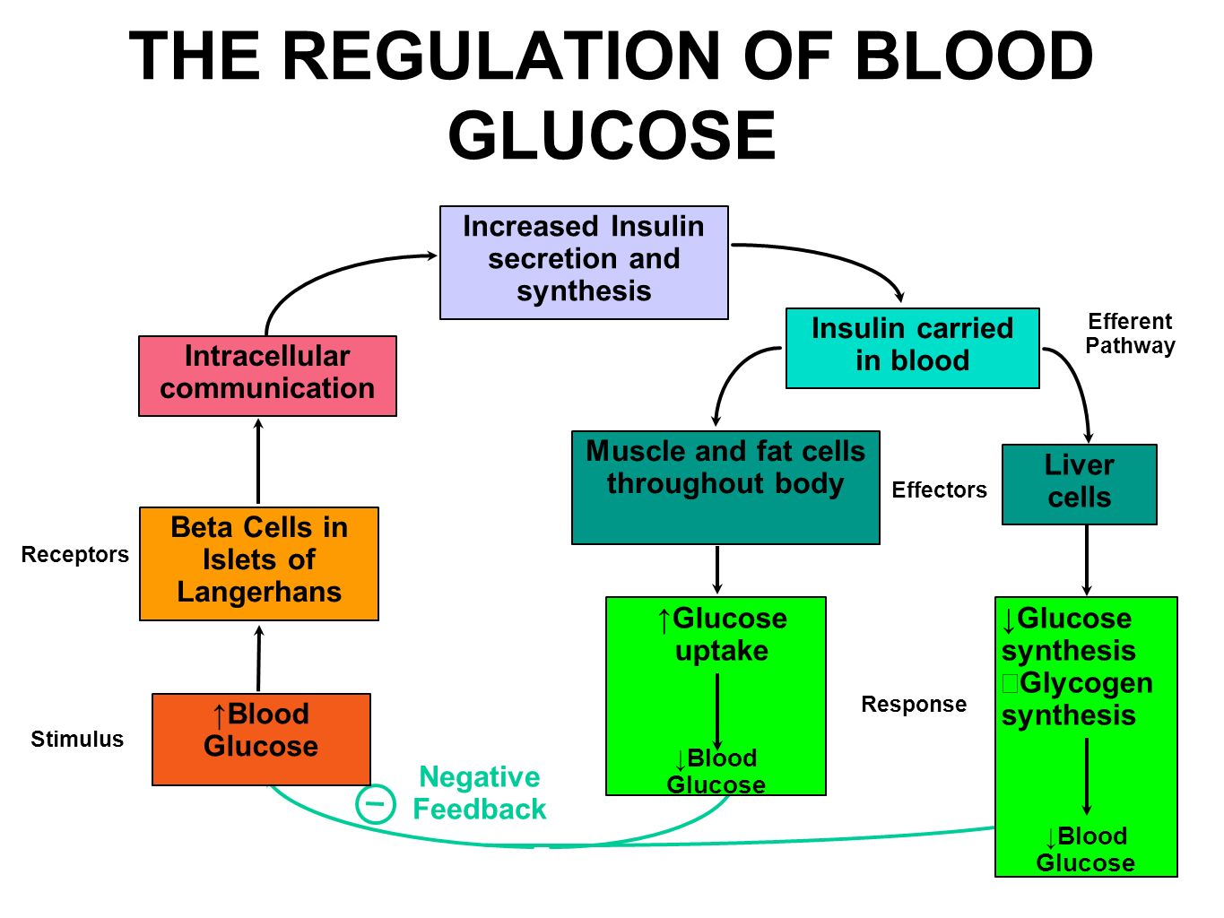 explain hormonal regulation of blood glucose level An endocrine gland is one that secretes hormones directly into the blood exocrine glands are glands that secrete to the outside once blood glucose levels are back to normal, cells start secreting glucagon again and cells stop secreting insulin.